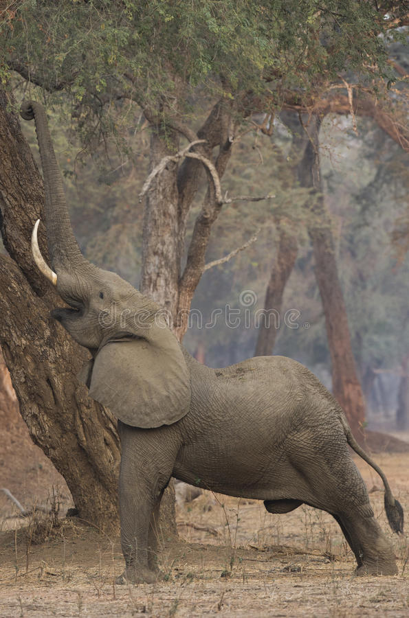 Elefante africano masculino (africana del Loxodonta) que alcanza para arriba foto de archivo