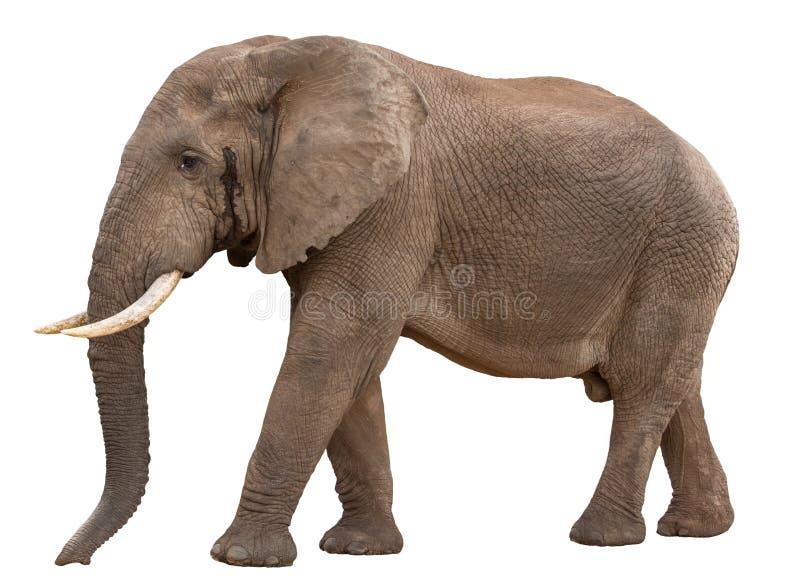 Elefante africano masculino grande em Musth - isolado imagens de stock royalty free