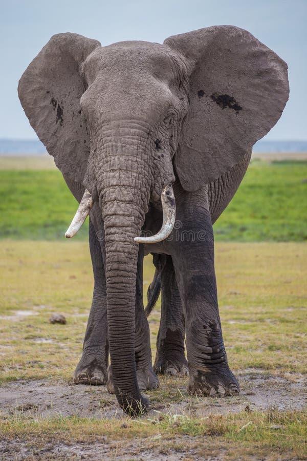 Elefante africano masculino grande en el parque nacional de Amboseli (Kenia) fotos de archivo libres de regalías