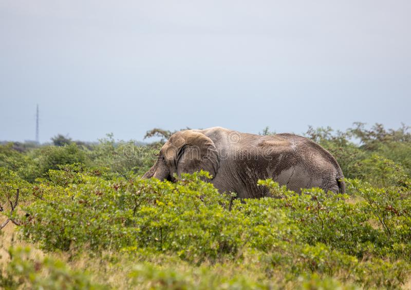Elefante africano nel Nxai Pan National Park nel Botswana fotografia stock libera da diritti