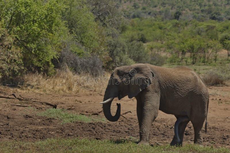 Elefante africano nel parco nazionale di Pilanesberg fotografia stock libera da diritti