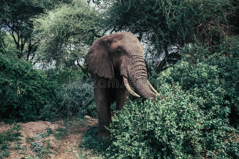 Elefante africano nel parco nazionale di Tarangire fotografia stock