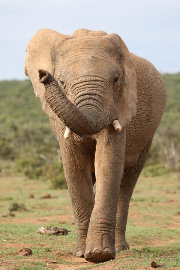 Elefante africano no movimento fotos de stock royalty free