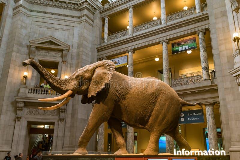 Elefante africano no Museu Nacional de Smithsonian da história natural imagens de stock