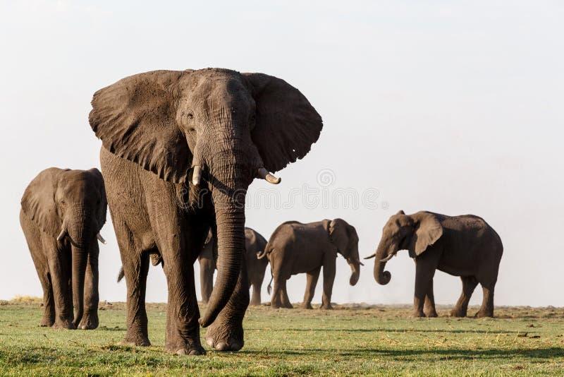 Elefante africano no parque nacional de Chobe fotografia de stock