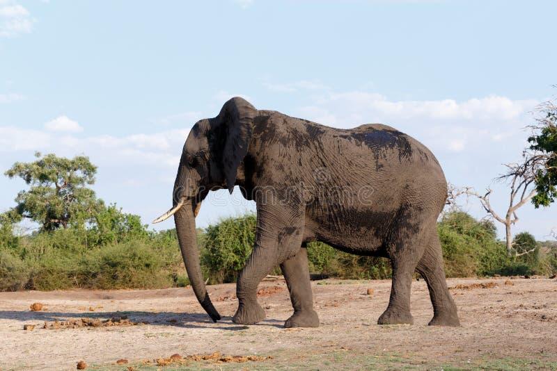 Elefante africano no parque nacional de Chobe imagens de stock