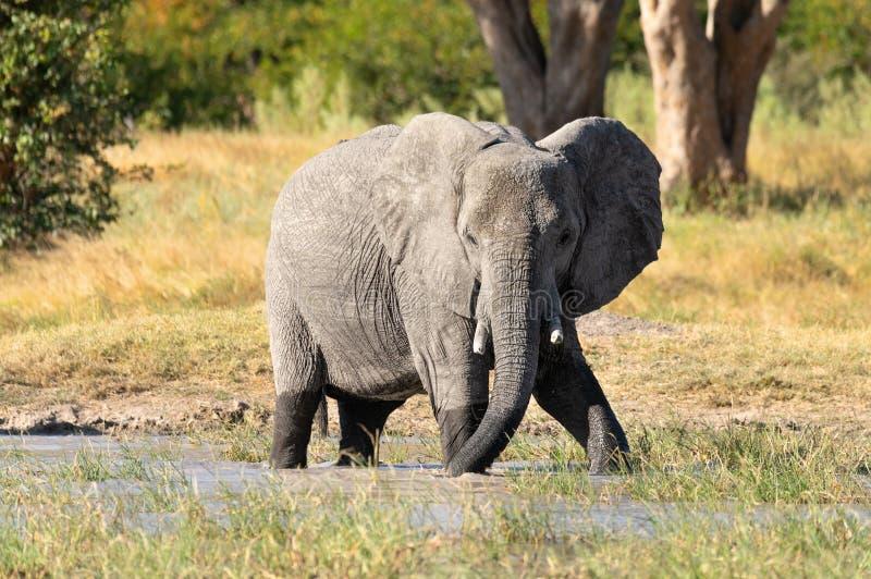 Elefante africano no waterhole, animais selvagens do safari de África fotografia de stock