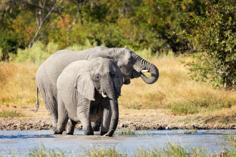Elefante africano no waterhole, animais selvagens do safari de África fotos de stock royalty free