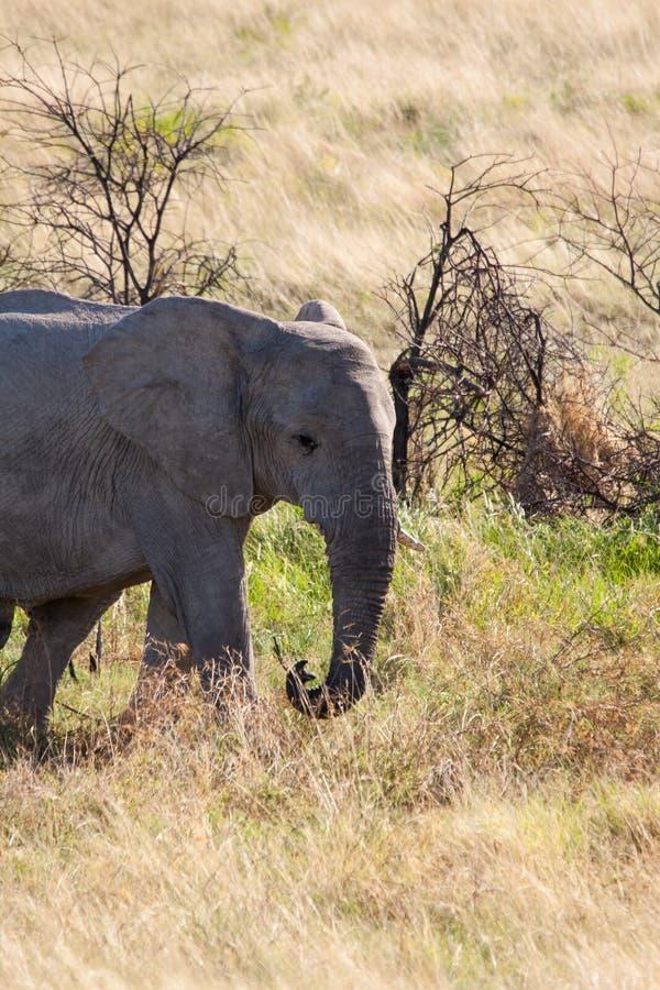 Elefante africano novo no parque nacional de Etosha, Namíbia foto de stock royalty free