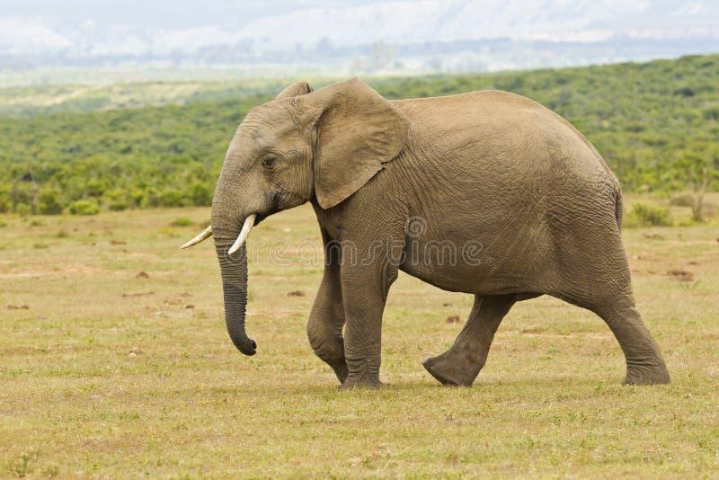 Elefante africano novo que anda no seus próprios imagem de stock