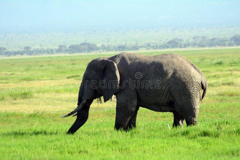 Elefante africano, parque nacional de Amboseli, Kenia fotografía de archivo libre de regalías