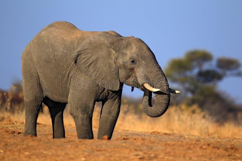Elefante africano, parque nacional de Chobe, Botswana imagem de stock royalty free