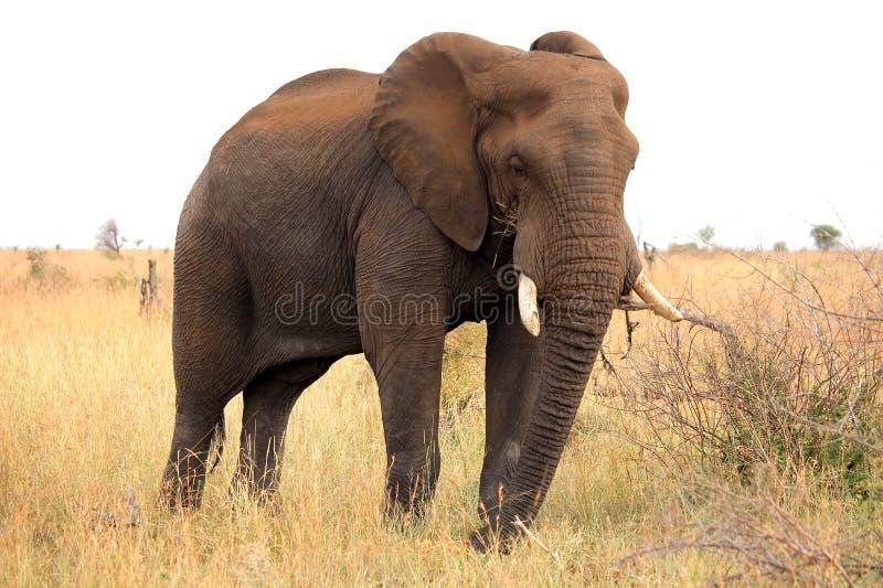Elefante africano Parque nacional de Kruger Viñedo famoso de Kanonkop cerca de las montañas pintorescas en el resorte safari fotografía de archivo libre de regalías