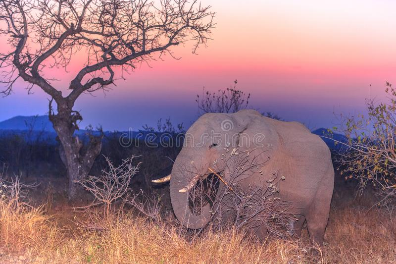 Elefante africano por noche foto de archivo libre de regalías
