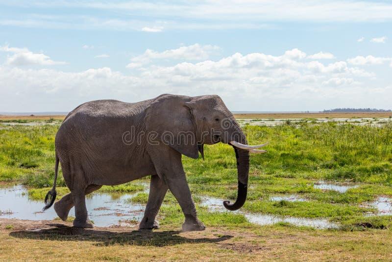 Elefante africano que anda em Amboseli Kenya fotografia de stock royalty free