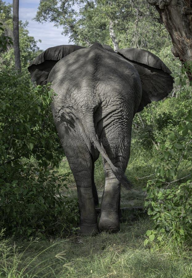 Elefante africano que anda em Bush foto de stock