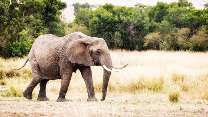 Elefante africano que anda para tomar partido em Kenya imagem de stock