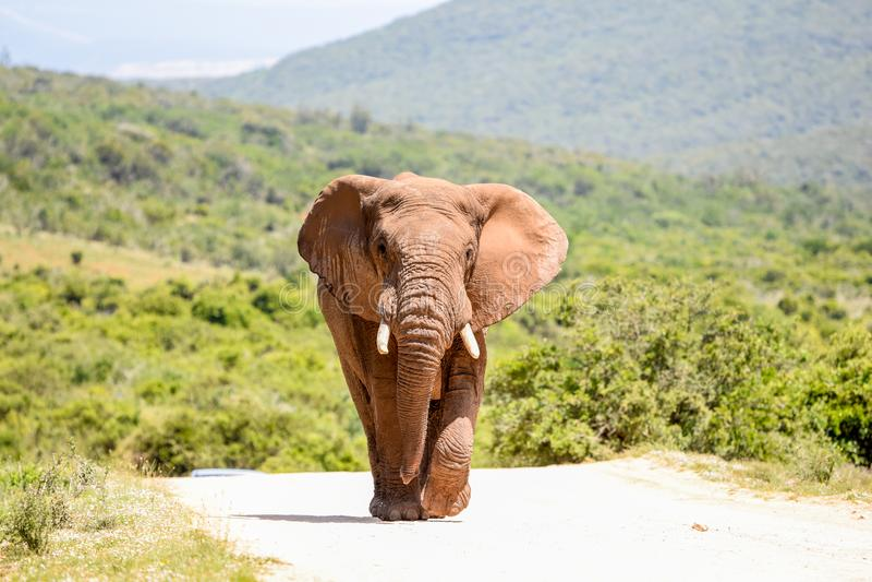 Elefante africano que camina en un camino de la grava en Addo Elephant National Park imagenes de archivo