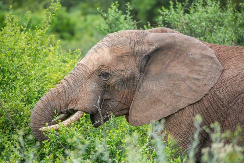 Elefante africano que come as folhas imagem de stock royalty free