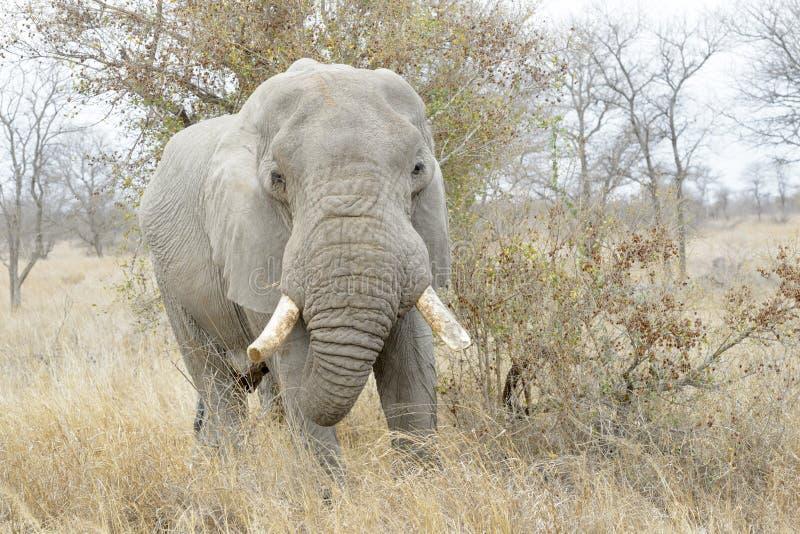 Elefante africano que come de un arbusto foto de archivo