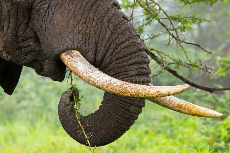 Elefante africano que come el acacia raspado amarillo, árbol de fiebre en el cráter de Ngorongoro, Tanzania, África foto de archivo