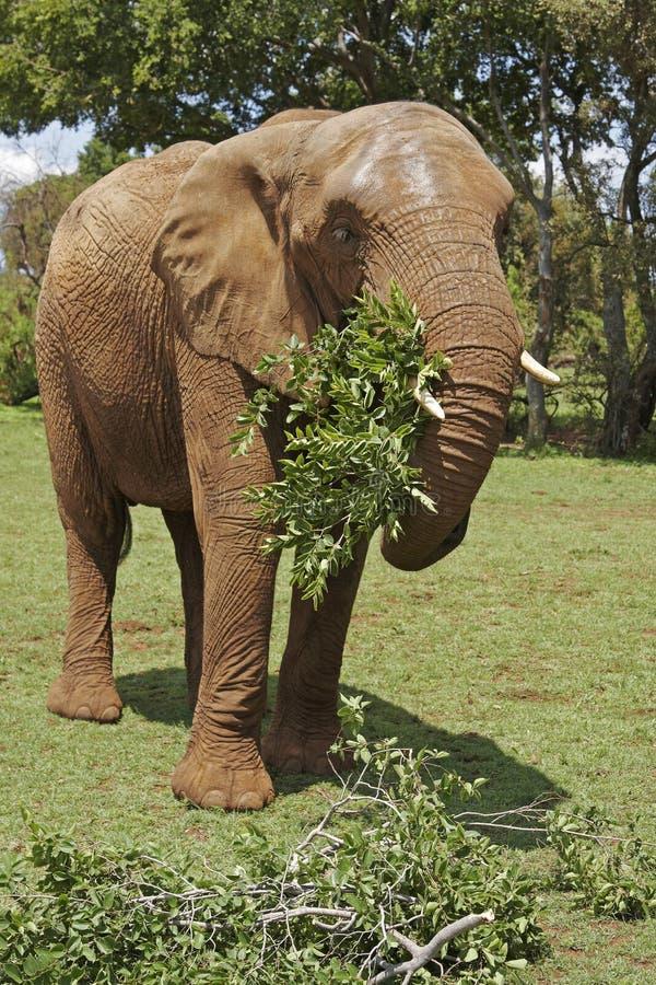 Elefante africano que come filiais frondosas foto de stock