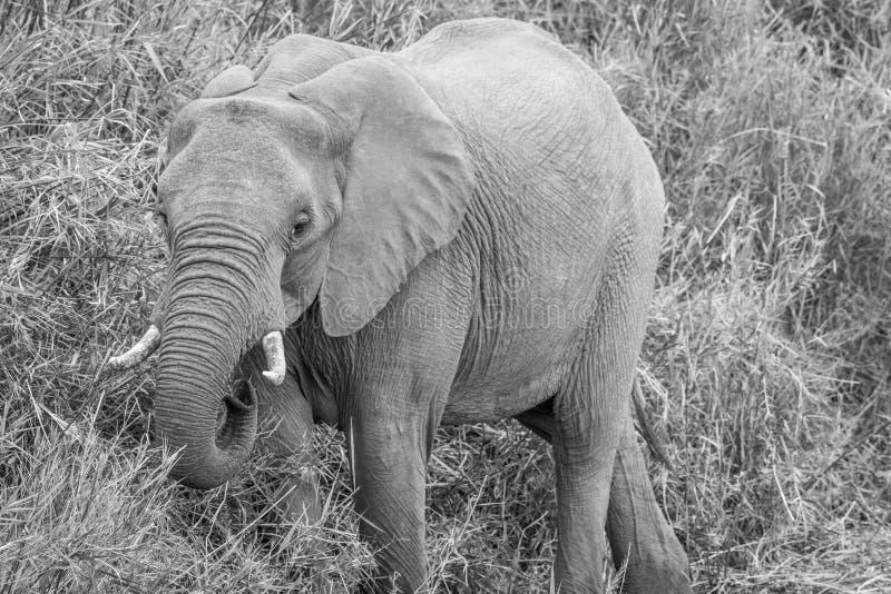 Elefante africano que come la hierba imagen de archivo libre de regalías