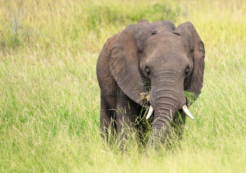 Elefante africano que come la hierba en el arbusto en el parque nacional de Kruger, Suráfrica e foto de archivo