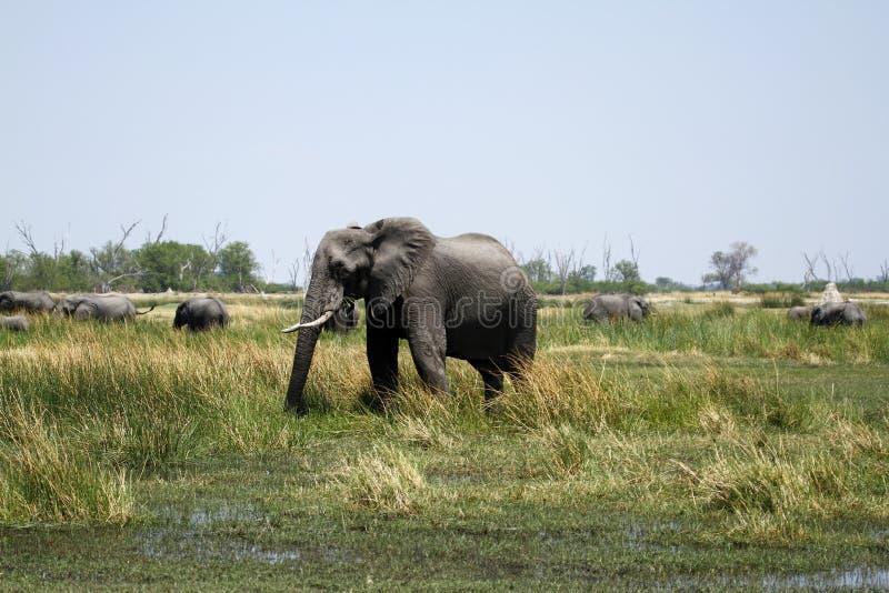 Elefante africano que come los minerales foto de archivo
