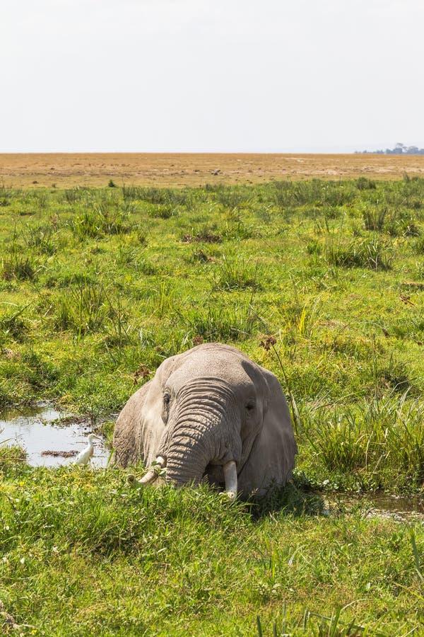 Elefante africano que descansa en el pantano Amboseli, Kenia fotos de archivo
