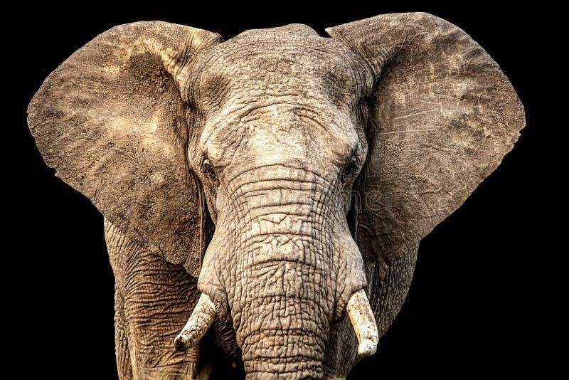 Elefante africano que enfrenta a câmera com orelhas para fora e fundo preto imagem de stock