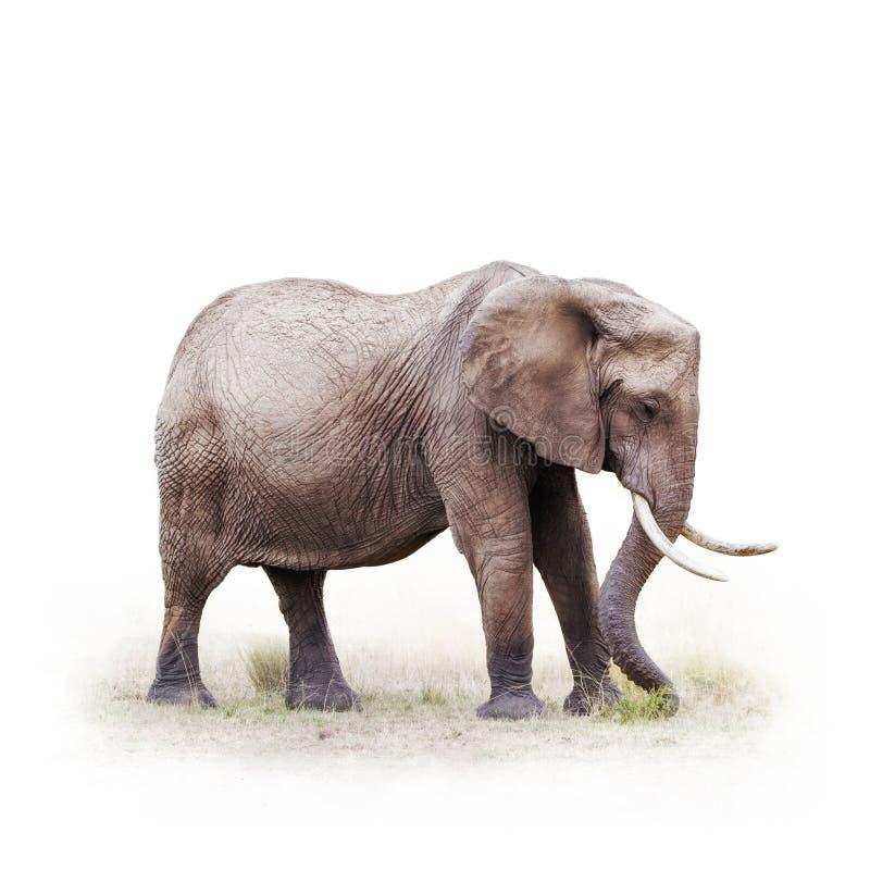 Elefante africano que pasta - isolado no branco fotos de stock