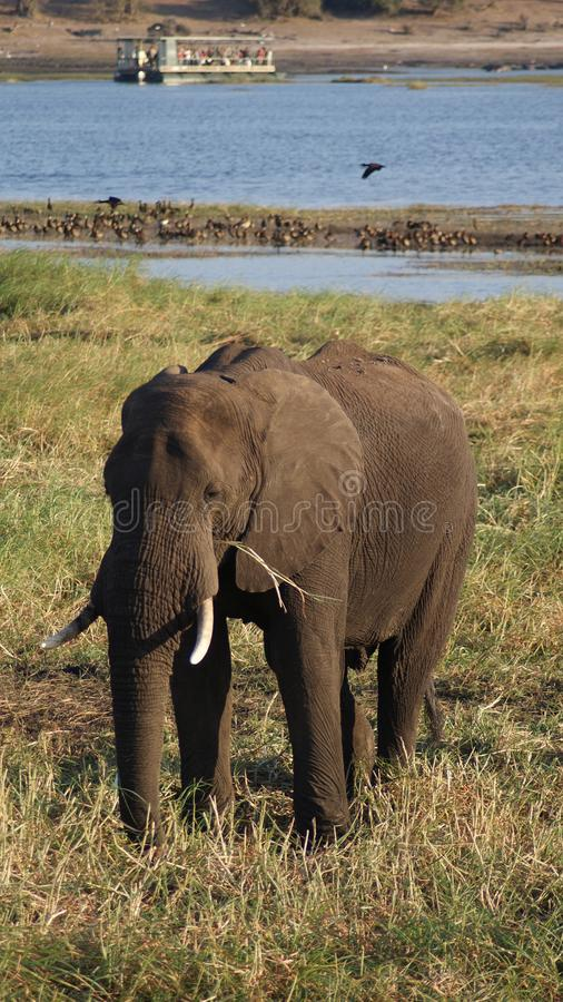 Elefante africano que pasta no rio no parque nacional de Chobe imagem de stock