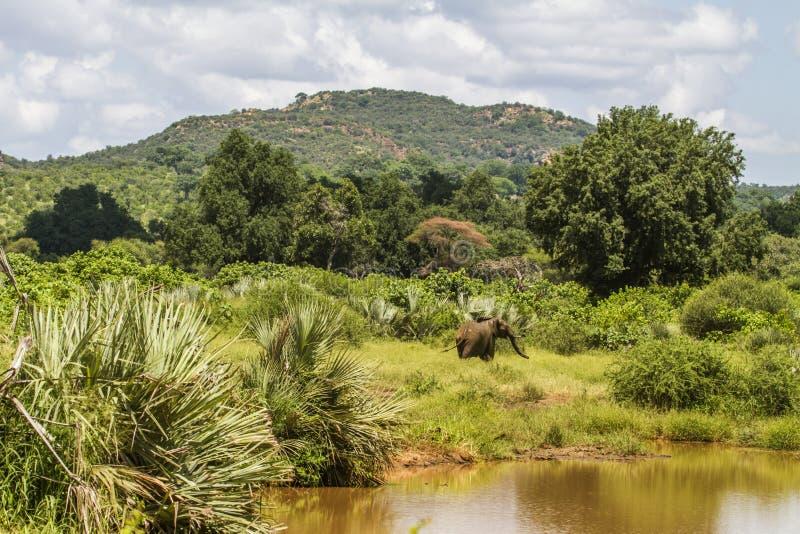 Elefante africano que se coloca en el riverbank, sabana del arbusto fotografía de archivo libre de regalías