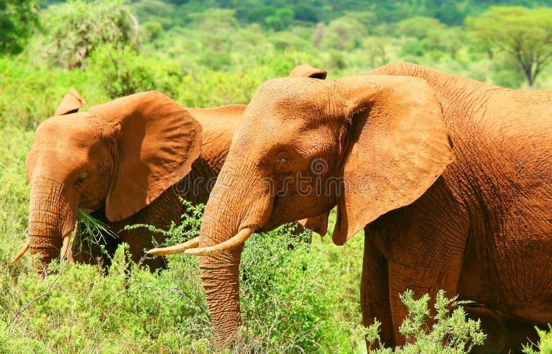 Elefante africano salvaje fotografía de archivo