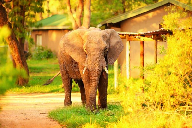 Elefante africano salvaje fotografía de archivo libre de regalías