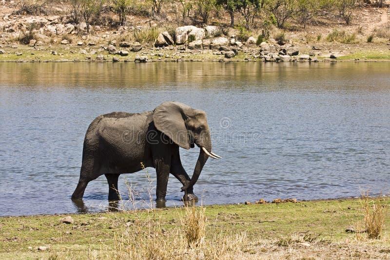 Elefante africano salvaje que cruza el río, kruger, ZA imagen de archivo