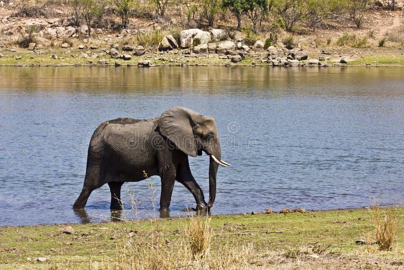 Elefante africano salvaje que cruza el río, kruger, ZA imagenes de archivo