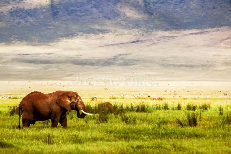 Elefante africano solo en el cráter de Ngorongoro en el fondo de montañas y de la hierba verde Imagen africana del viaje Ngorongo imagenes de archivo