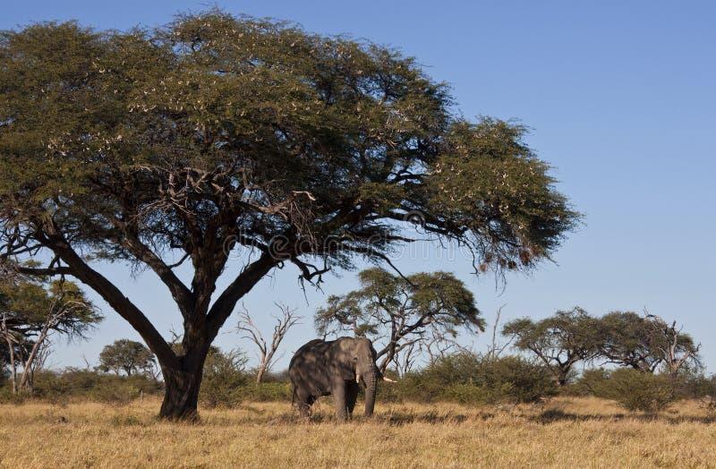 Elefante africano sotto l'albero dell'acacia - Botswana immagine stock