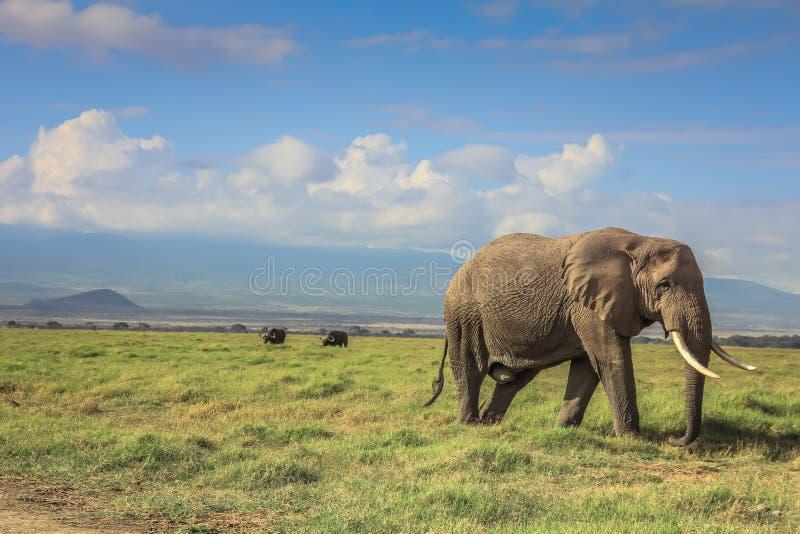 Elefante africano su Mara masai Kenia immagini stock libere da diritti