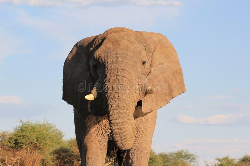 Elefante, africano - usted pequeña cosa imágenes de archivo libres de regalías