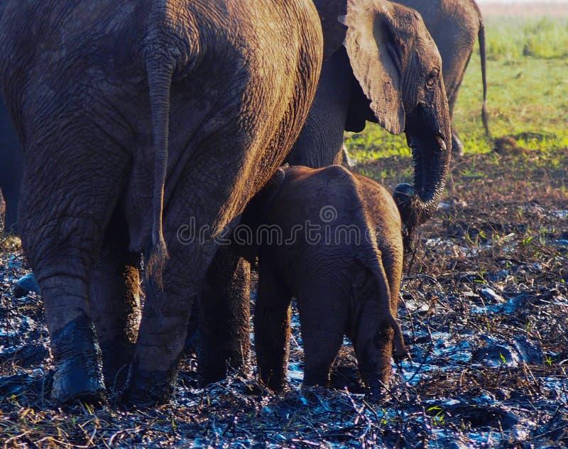 Elefante africano y becerro que se van fotos de archivo