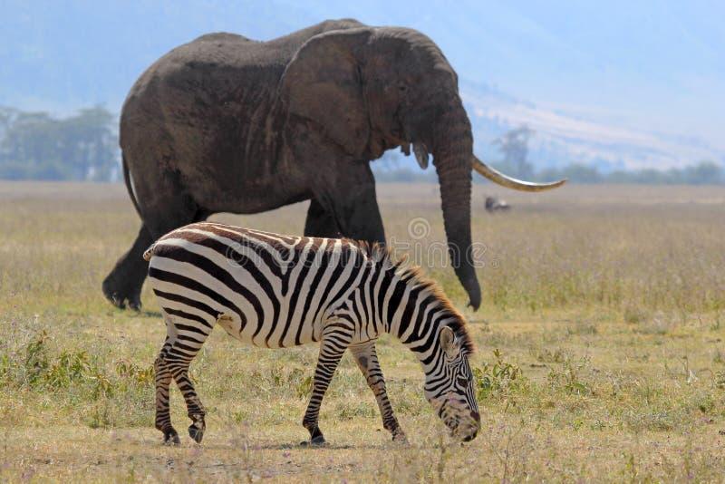 Elefante africano y cebra imagenes de archivo