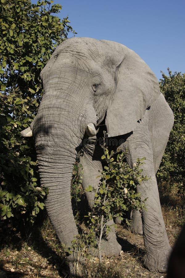 Elefante africano - Zimbabwe fotografia stock libera da diritti