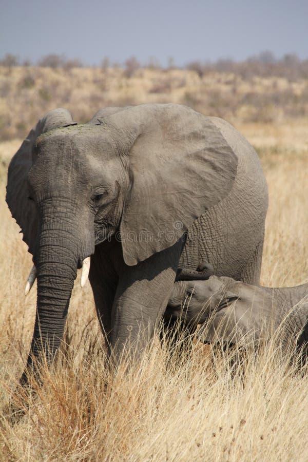 Elefante al parco nazionale di Ruaha, Tanzania Africa orientale immagine stock libera da diritti