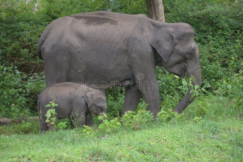 Elefante alla fauna selvatica di mudhumalai santuary immagine stock libera da diritti