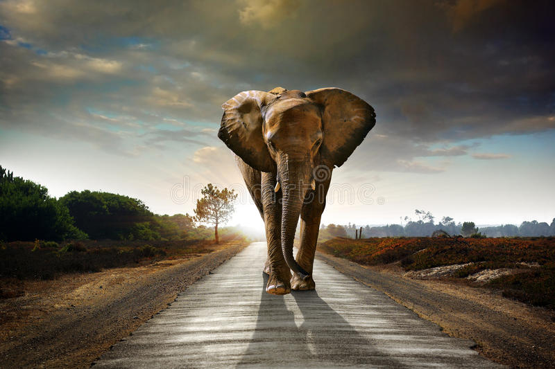 Elefante ambulante immagine stock libera da diritti