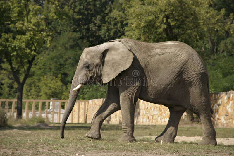 Download Elefante ambulante immagine stock. Immagine di grande, elefante - 219633