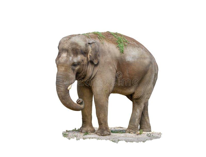 Elefante animale del grande mammifero su un fondo bianco fotografia stock libera da diritti